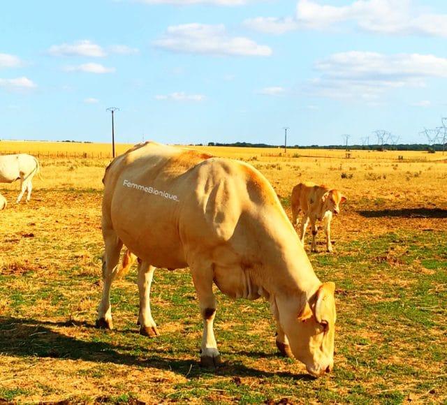 Une vache et un veau dans un pré. On aperçoit aussi une demi-vache qui balance sa queue et un quart d'une autre vache tout à gauche. Le ciel est bleu avec de légers nuages.